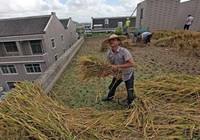 Trồng lúa trên sân thượng