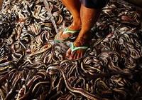 """""""Rùng mình"""" đột nhập lò mổ rắn ở Indonesia"""