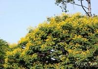 Hoa điệp vàng trên đường phố Sài Gòn nở sớm