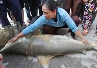 Bắt được cá mập nghi cắn người ở biển Quy Nhơn