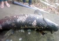 Vớt thêm được cá huyết rồng 80 kg