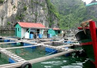 Lại chuyện người nước ngoài nuôi cá lồng trên biển Cát Bà