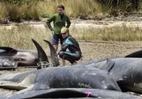 Cá voi mắc cạn, chết hàng loạt ở New Zealand