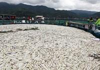 Cá chết trắng hồ tại Philippines