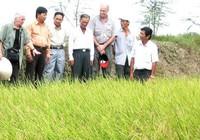 Kỹ sư Cua và giống lúa thơm