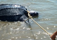 Bắt được rùa lạ, nghi là loài rùa biển cực kỳ quý hiếm