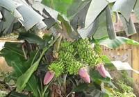 Một cây chuối lạ trổ tới 3 buồng tại tỉnh Phú Thọ