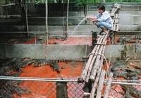 Nuôi cá sấu ở Cà Mau: Nghề bấp bênh đầy may rủi