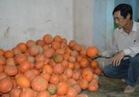 Nông dân khổ sở với giống cây Trung Quốc
