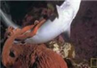 Bạch tuộc tiêu diệt cá mập
