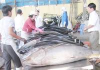 Phú Yên - tết trúng cá ngừ