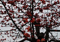 Ngắm cây gạo trăm tuổi nở hoa đỏ rực