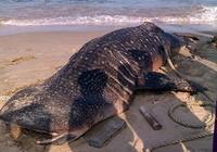 Cá voi 'Ông Thông' nặng gần 4 tấn trôi dạt vào Mũi Né