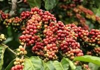 Dân 'găm' cà phê, doanh nghiệp thiếu hàng xuất khẩu