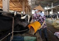 Kết nối, hỗ trợ nông dân Củ Chi bán sữa