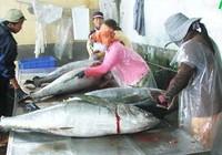 Giá cá ngừ đại dương giảm bất thường