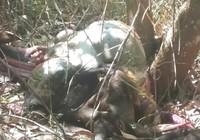 Lại phát hiện một con bò tót chết trong khu bảo tồn