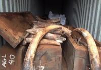 Bắt giữ 2 tấn ngà voi nhập lậu trị giá hàng trăm tỉ