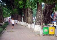 Tiếc nuối khi hàng cây Kim Mã phải di chuyển