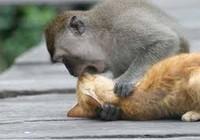 Xem chú khỉ ôm ghì, hôn tới tấp mèo con