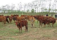 Mỗi ngày Hoàng Anh Gia Lai thu về khoảng 1 tỉ đồng từ phân bò