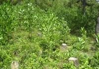 Phạt 50 triệu đồng DN khai thác rừng trái phép