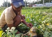 Độc đáo dưa hấu hồ lô ở cù lao Tân Triều