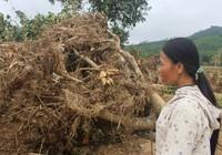 Người trồng bưởi bật khóc trên mảnh vườn tan tác sau lũ