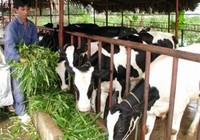 Giá sữa bò Việt Nam cao nhất thế giới