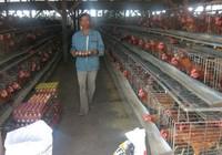 Trứng gà mất giá, mỗi ngày lỗ 20 triệu đồng