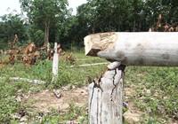 Hơn 300 cây cao su bị chặt, nghi kẻ xấu phá hoại