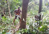 Yêu cầu dừng dự án phá rừng ở Phú Yên, xử lý sai phạm