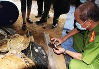 Vụ tàng trữ xác rùa biển: Sẽ xử nặng hơn truy tố?