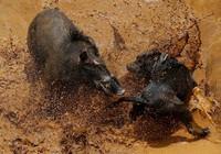 'Adu Bagong', lợn rừng và đấu trường sinh tử đẫm máu