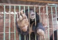 Báo Anh 'lên án' trang trại mật gấu tại Việt Nam