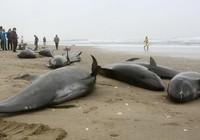 150 con cá heo bị mắc cạn tại Nhật Bản