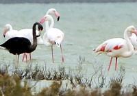 Bức ảnh 'chim hồng hạc đen' làm giới nghiên cứu xôn xao