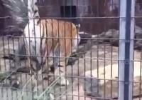 Đi sở thú, bị hổ 'đánh dấu lãnh thổ' tung tóe trên người