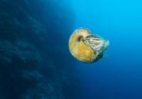 Sinh vật biển cổ đại 'tái xuất' sau 31 năm mất tích