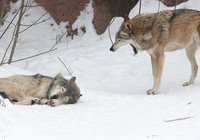 Chó sói sở thú Nga bỗng dưng thích 'ăn chay'
