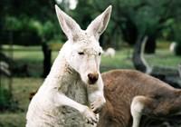 Dùng kangaroo 'đánh bom tự sát', thiếu niên Úc bị bắt giữ