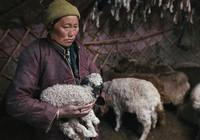 350.000 gia súc tại Mông Cổ chết, dân giàu bỗng thành nghèo