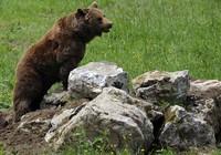 Gấu xông vào phá hỏng cuộc tập trận của 3.000 binh sĩ