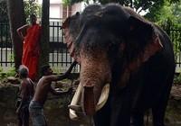 Nuôi voi rừng: Thú vui 'quyền lực' của giới thượng lưu