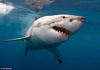 Đứng tim với thợ lặn tay không hạ gục cá mập trắng