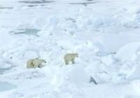 Năm nhà khoa học Nga kẹt gần nửa tháng vì gấu Bắc Cực
