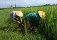 Hàng trăm hecta lúa không kết hạt phải cắt cho bò ăn