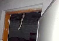 Hốt hoảng khi thấy con trăn dài hơn 2 m trên trần nhà