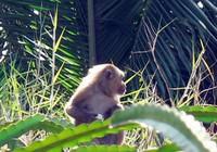 Năm khỉ nói chuyện khỉ: 'Hầu tặc' trả thù