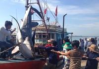 Đưa cá voi khoảng nửa tấn vào bờ chôn cất